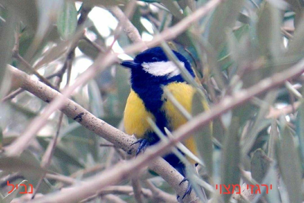 ירגזי מצוי • ציפורים על הכרמל (צילום: נביל נסראלדין)