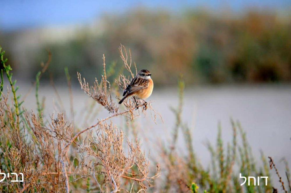 דוחל • ציפורים על הכרמל (צילום: נביל נסראלדין)