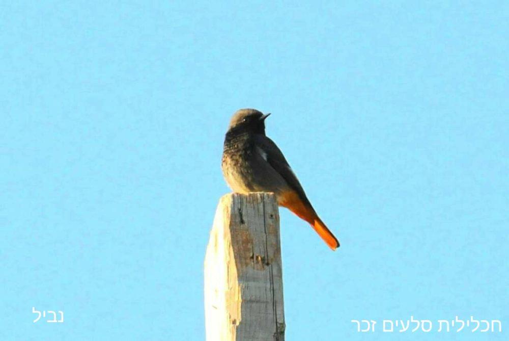 חכלילית הסלעים - זכר • ציפורים על הכרמל (צילום: נביל נסראלדין)