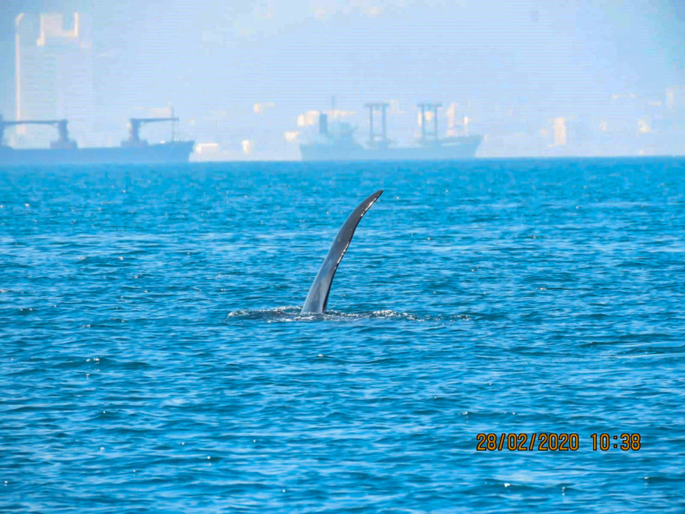 לווייתן קטלן ליד עכו (צילום: מנור גורי - רשות הטבע והגנים)