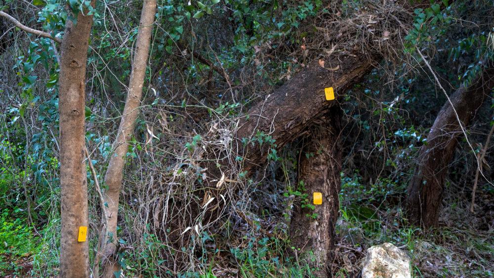 עצים מסומנים • נחל הגיבורים בחיפה (צילום: ירון כרמי)