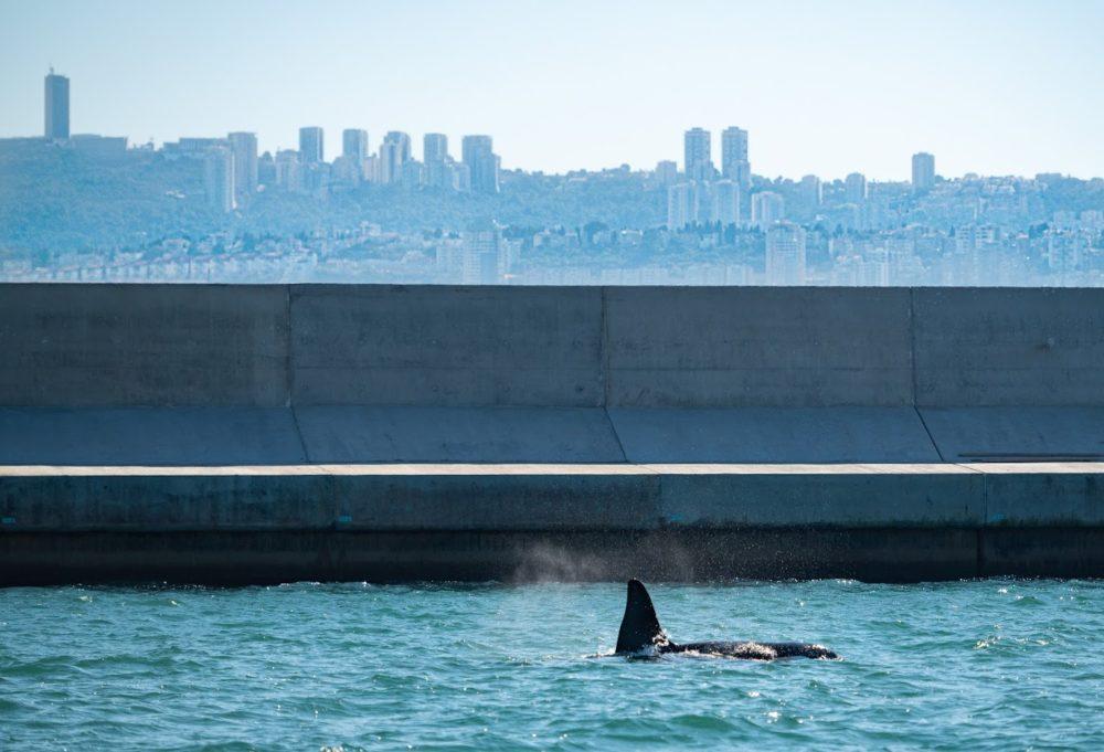 לוויתן קטלן בחיפה (צילום: Sam ch ו-Shay Alon)