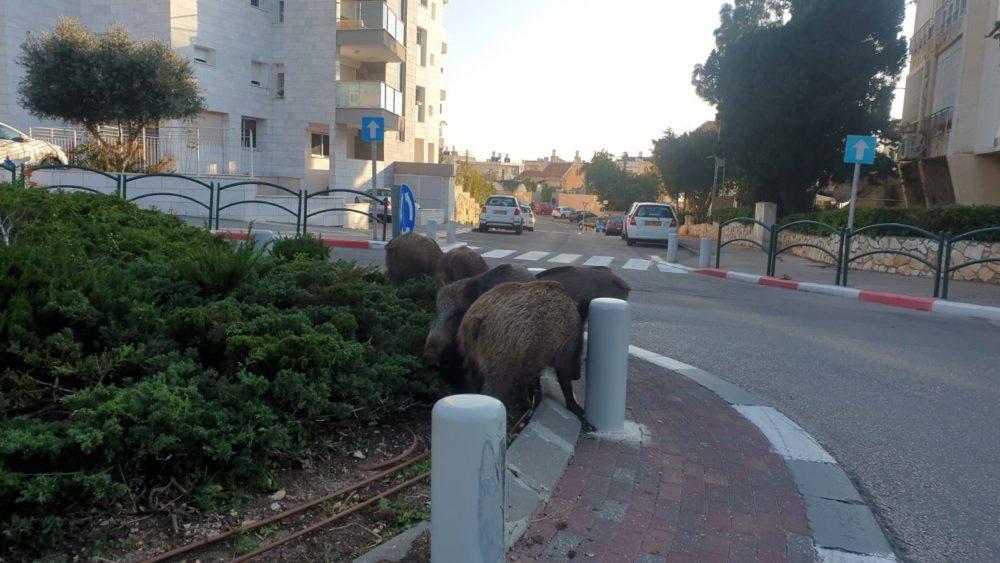 חי בר בחיפה חזירי בר בכרמליה