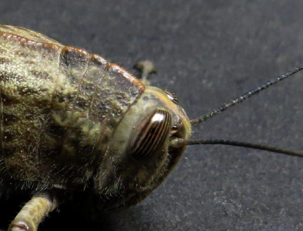 ארבה (צילום: מוטי מנדלסון - חוקר ימי)