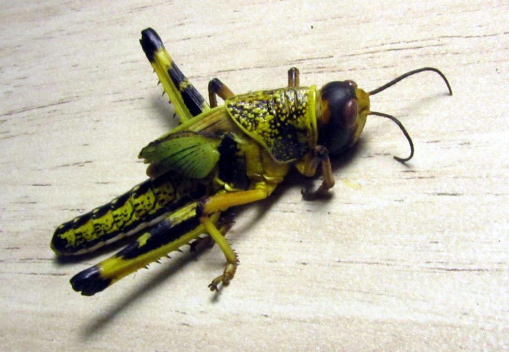 הארבה. חרק גדול ומזיק עד מאוד לחקלאות והידוע כאחת ממכות מצרים (צילום: מוטי מנדלסון)
