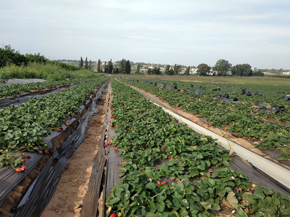 קטיף תותים עם השומר החדש בתקופת סגר הקורונה (צילום: ויטלינה מוחין)
