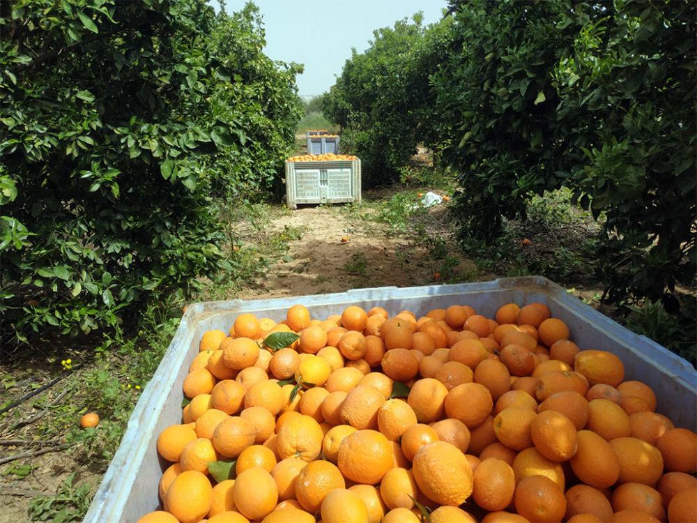 ארגזי תפוזים • קטיף עם השומר החדש בתקופת סגר הקורונה (צילום: ויטלינה מוחין)