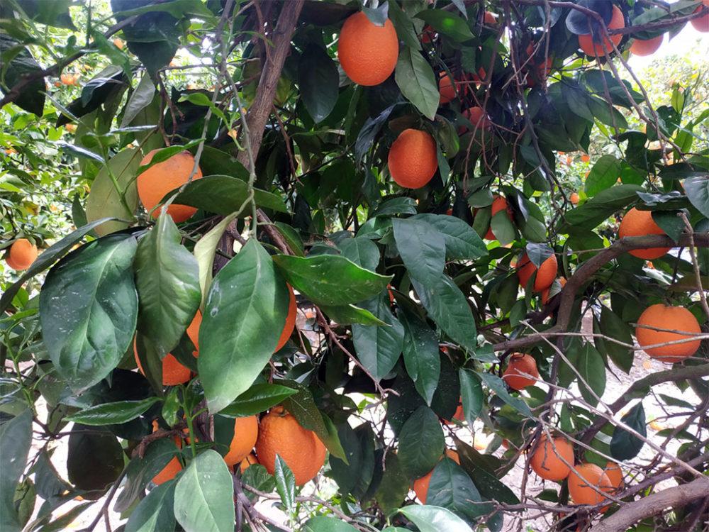 עץ תפוזים • קטיף עם השומר החדש בתקופת סגר הקורונה (צילום: ויטלינה מוחין)