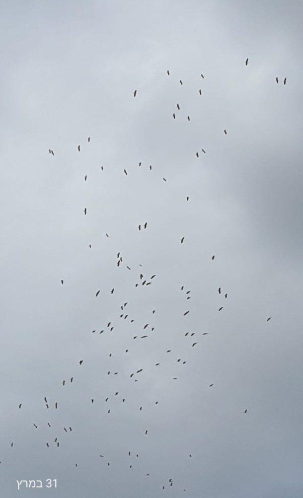 חסידות בנדידה מעל נאות פרס (צילום גיל גולן)