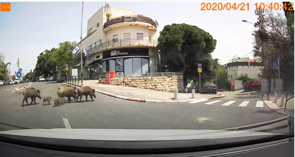 חזירי בר בחיפה ציר מוריה (צילום איב עמוס)