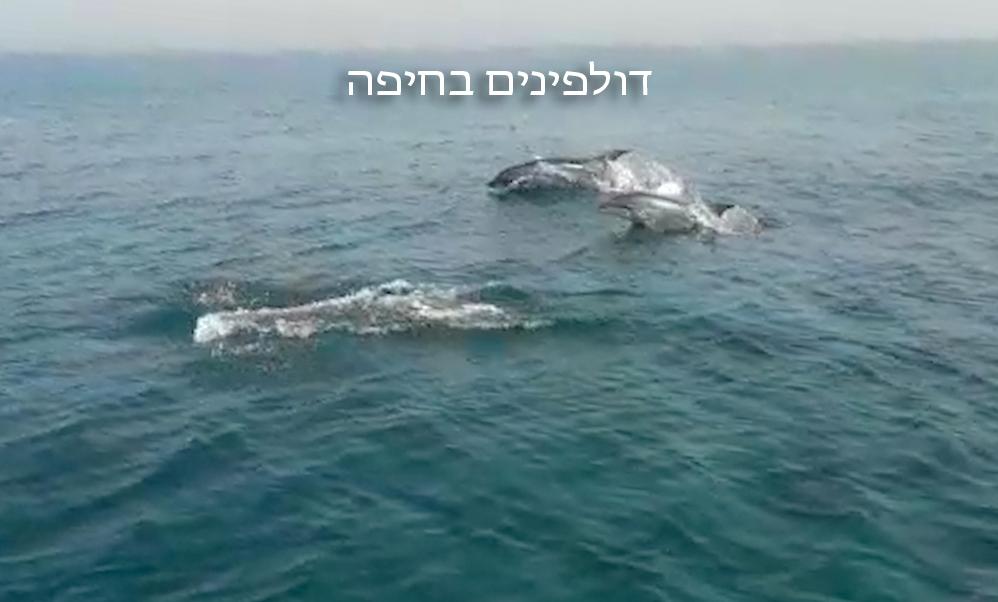 דולפינים בחיפה (צילום: גיאצ'ו פלג)