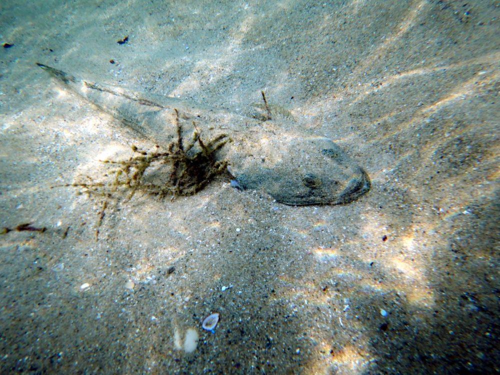 שטח-ראש-הודי מתחפר בקרקע הים (צילום: מוטי מנדלסון)