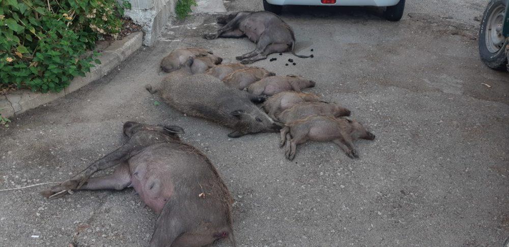 חזירים מתים בנשר - ככל הנראה בעקבות הרעלה (צילום: אורן חן רשות הטבע והגנים)