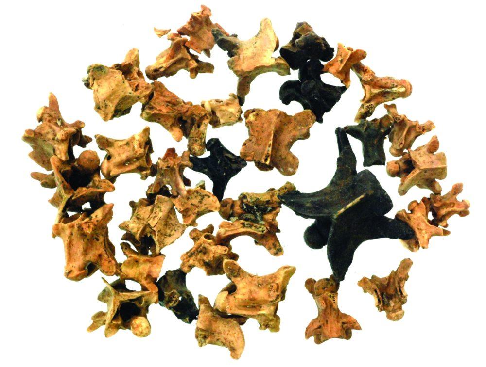 חוליות זוחלים שאכל האדם הקדמון (צילום רועי שפיר)