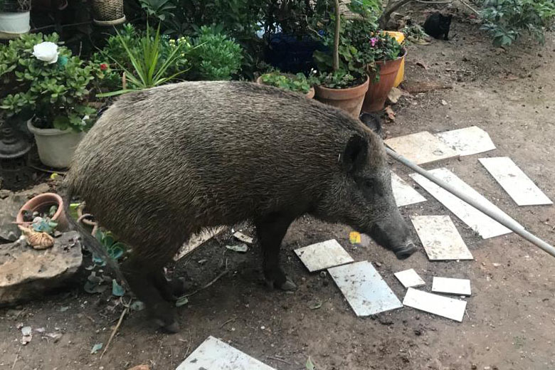 חזיר בחיפה (צילום: מרום בן-אריה)