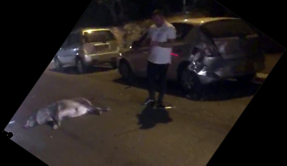 תאונת דרכים עם חזיר בחיפה (צילום: יובל שמש)