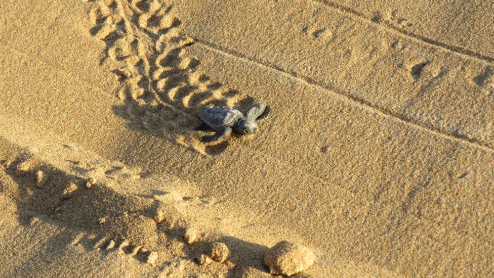 שחרור צבי ים (צילום: אגף החופים חיפה)