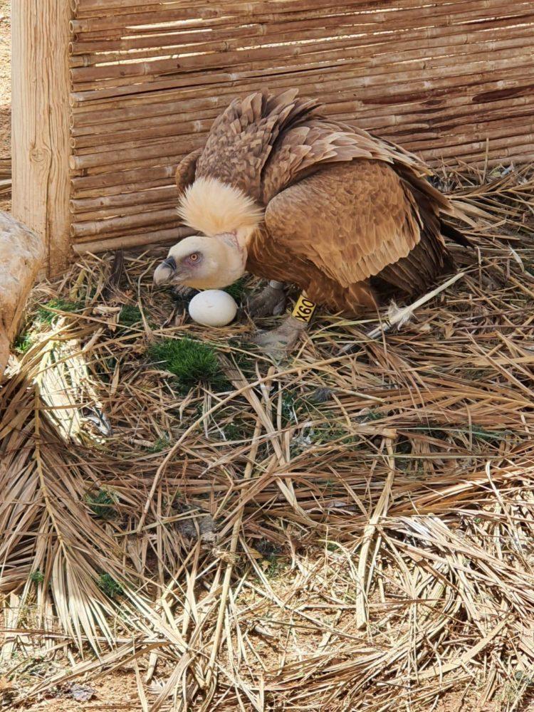 נשר עם ביצים (צילום: יגאל מילר רשות הטבע והגנים)