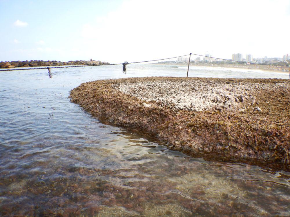 ים של אצות... (צילום: מוטי מנדלסון)