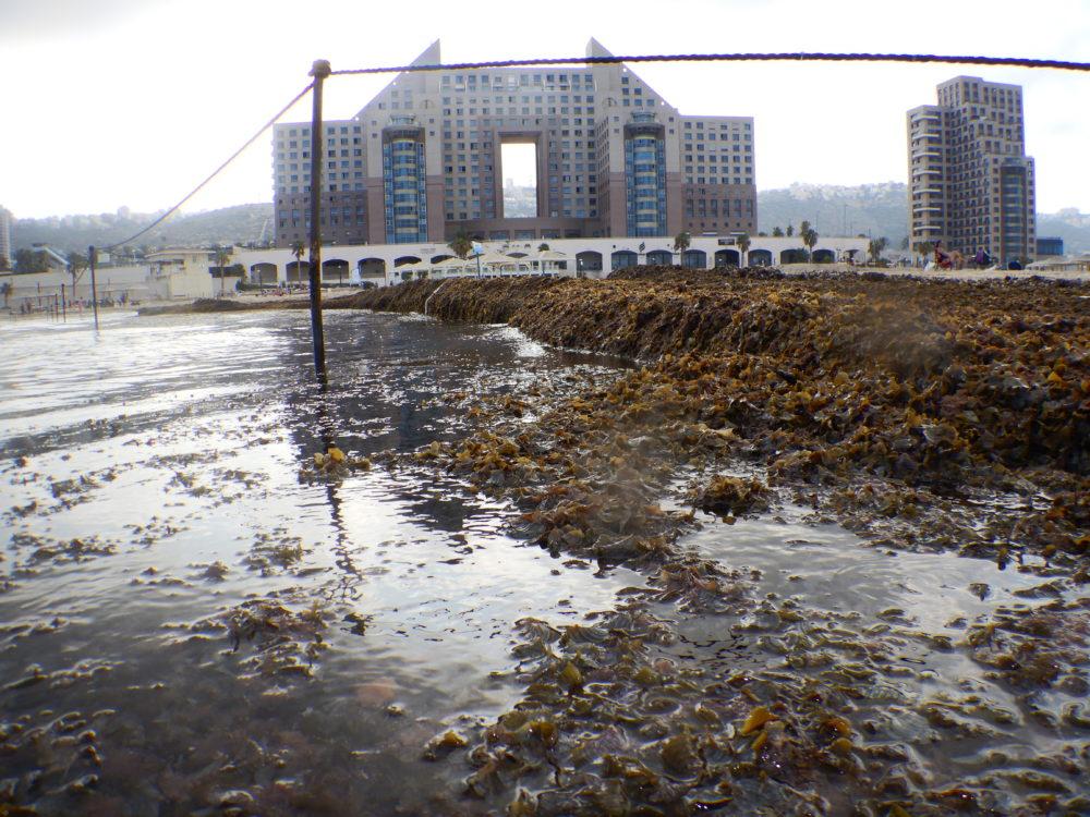 כמויות אדירות של אצות בחוף מרידיאן (צילום: מוטי מנדלסון)