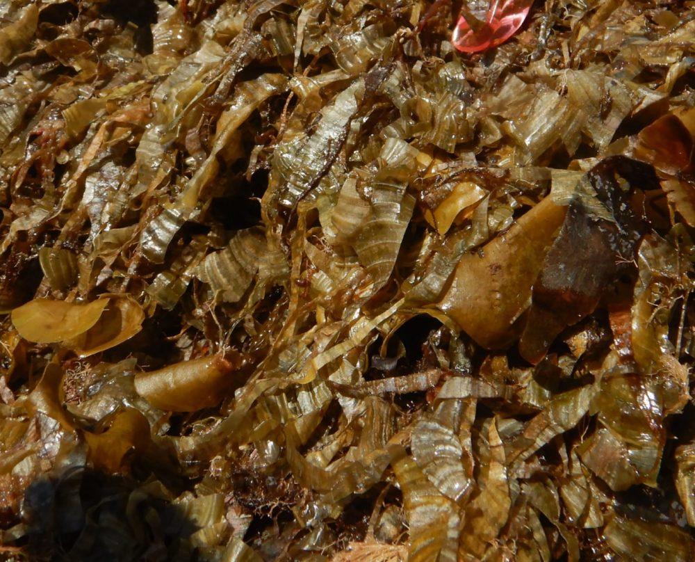 מבט מקרוב - אצות חיפאיות (צילום: מוטי מנדלסון)