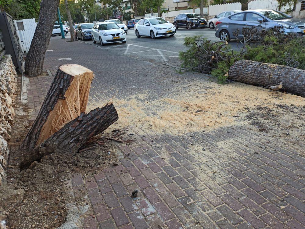 עץ חתוך (צילום: עליזה ברקן)
