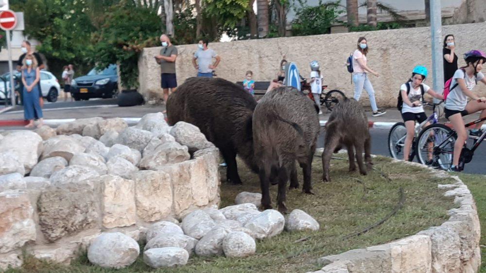 חזירי בר רועים לייד ילדים בשכונת כרמליה - יום כיפור (צילום: דורון שוורץ)