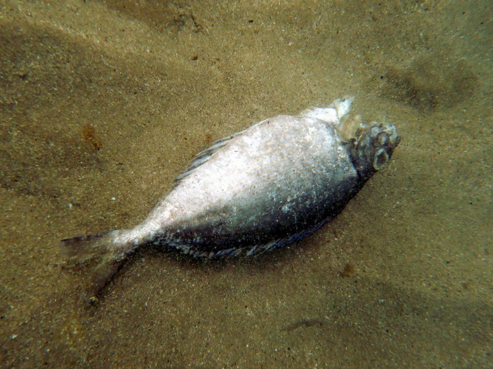 דג שמצא את מותו בגלל חום המים (צילום: מוטי מנדלסון)