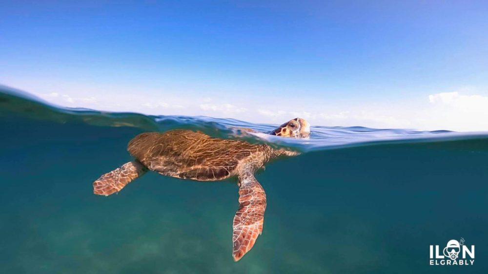 הצב שחזר אל הים (צילום: אילן אלגבלי)