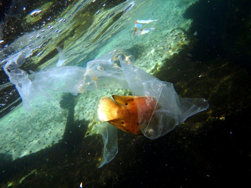 דג חסר מזל מסתבך בשקיות הניילון (צילום: מוטי מנדלסון)