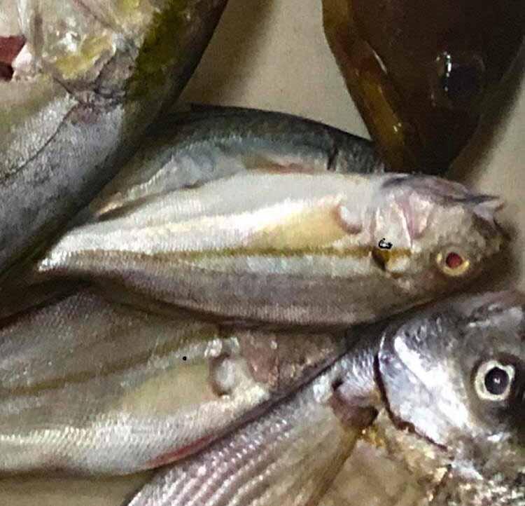 דג הטורפן שאכל חיים מקריית ביאליק יומיים לפני יום כיפור (צילום: מוטי מנדלסון)