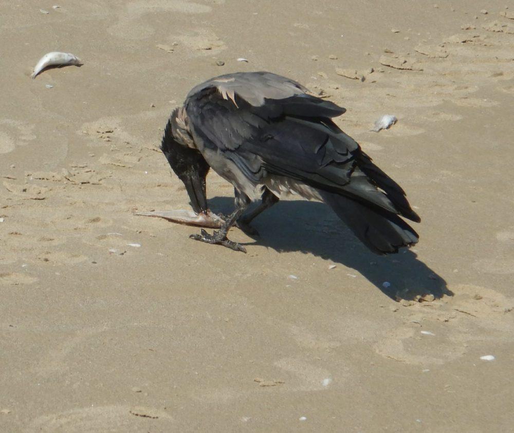 עורב זולל דגי טורפן מתים בחופי הקריות - מפרץ חיפה (צילום: מוטי מנדלסון)