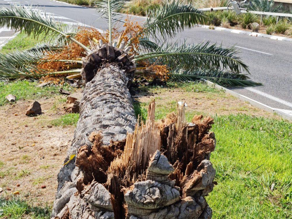 עץ תמר נשבר ביציאה הדרומית של חיפה (צילום: שאול כהן - אגרונום)