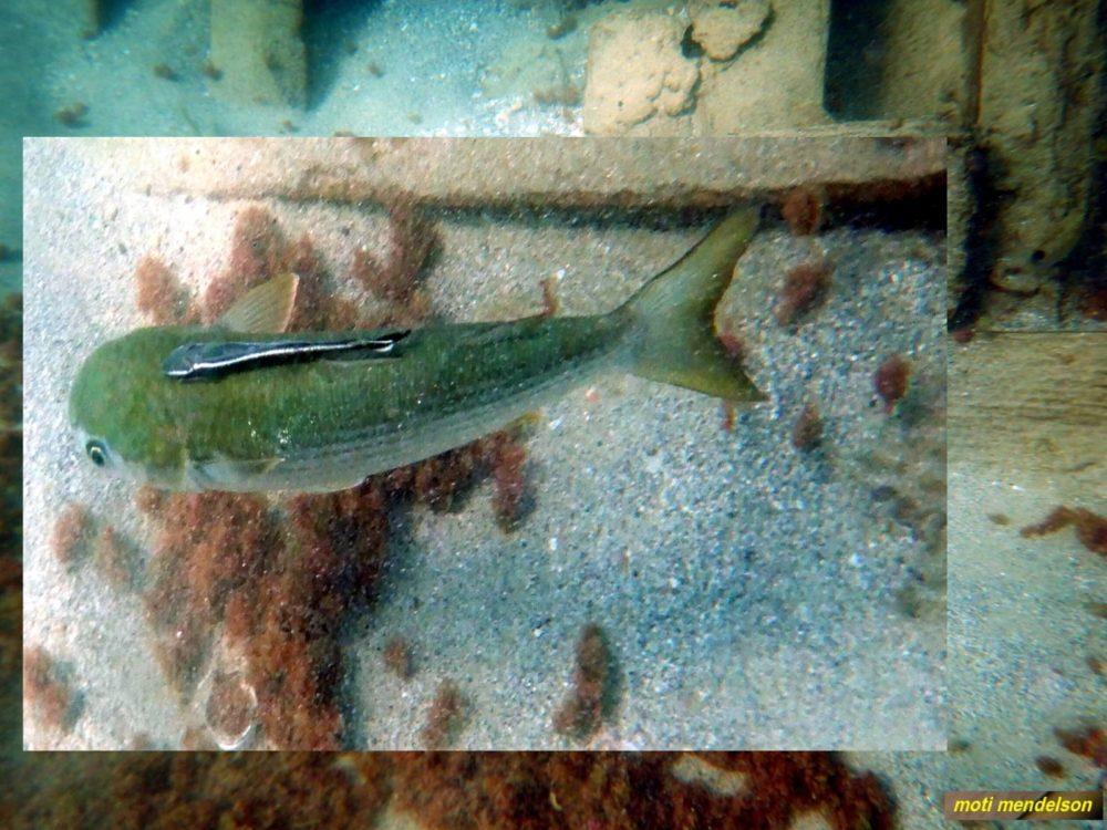 רמורה (טפילה) על גב דג בורי (צילום: מוטי מנדלסון)