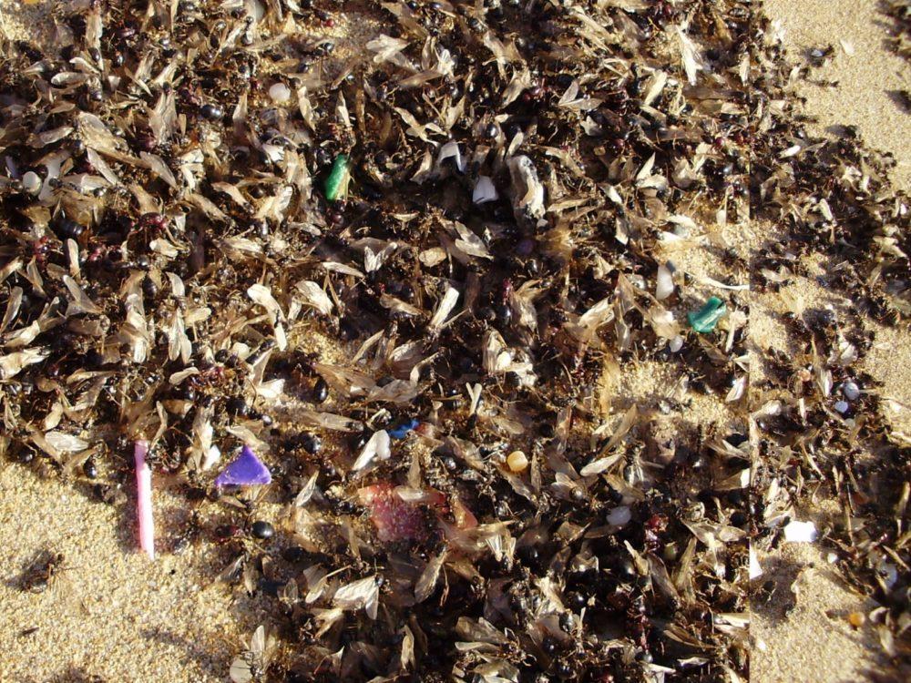 המוני נמלים בחוף הים (צילום: מוטי מנדלסון)