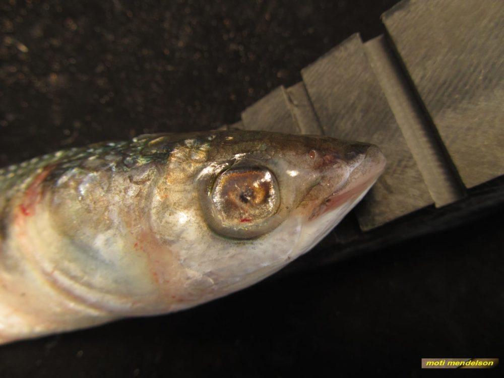 מחלה בעיני דג, כפי הנראה, כתוצאה מזיהומים (צילום: מוטי מנדלסון)