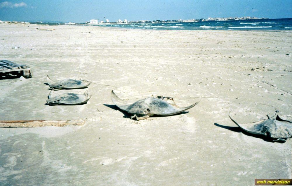 בטאים מתים על החוף (נספרו 36) (צילום: מוטי מנדלסון)