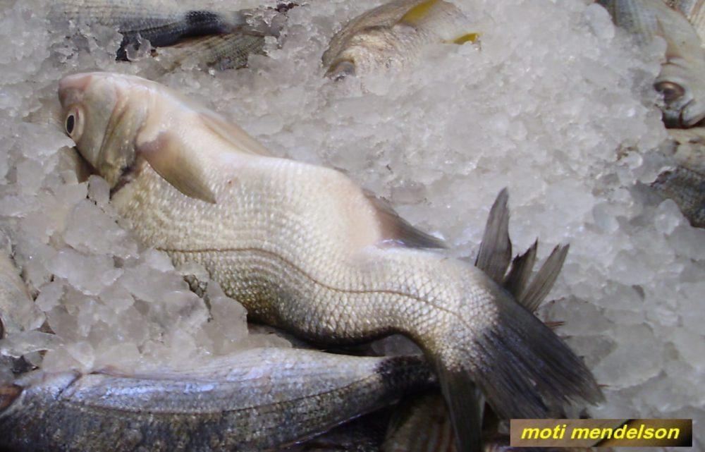 עיוות בעמוד השדרה של דג (צילום: מוטי מנדלסון)