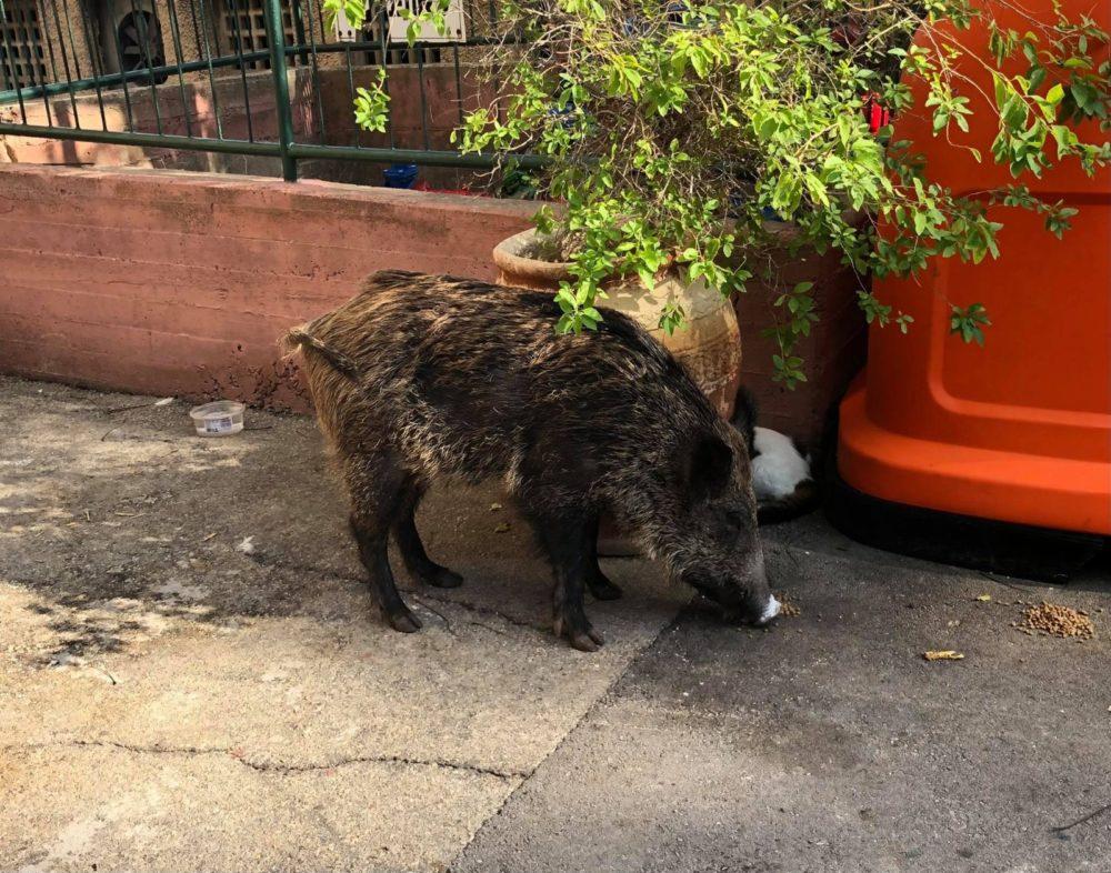 חזיר נהנה ממזון של חתולים (צילום: רוברט איינשטיין)