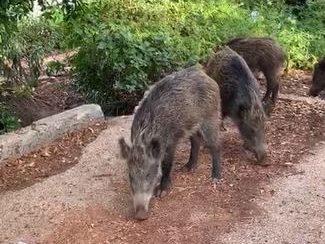 חזירי בר בחיפה (צילום: שמעון שימול)