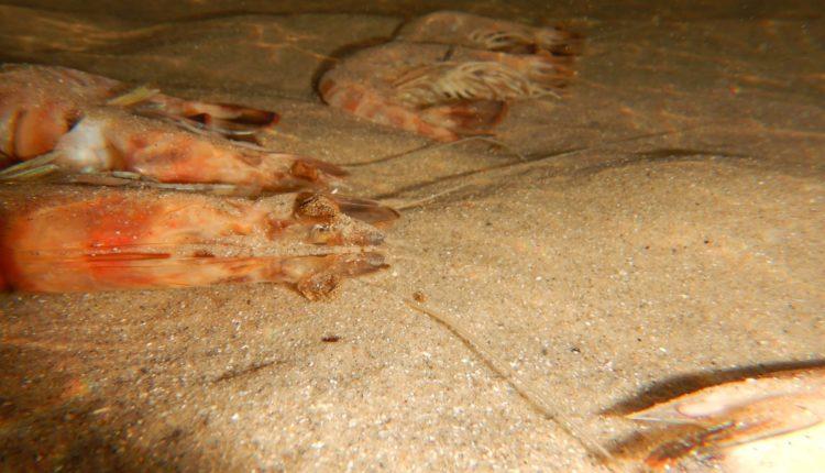 סרטנים ארוכי בטן (שרימפסים) מתים – תופעה מוזרה של בעלי חיים מתים על קרקעית הים בחופי הקריות (צילום: מוטי מנדלסון)