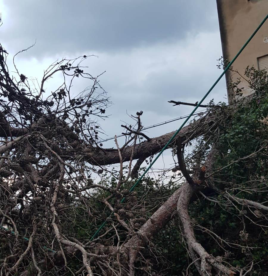 עץ קרס על כבלי חשמל ברחוב האילנות בחיפה (צילום: ירון ציפורי)