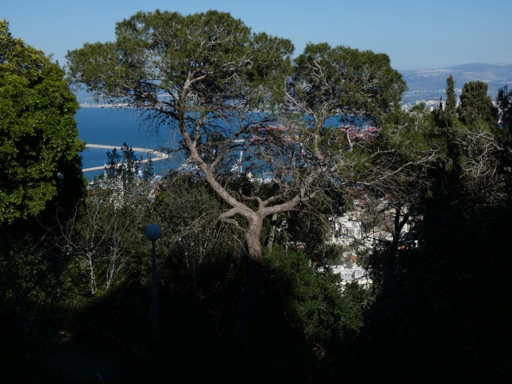 עצי אורן ומפרץ חיפה (צילום: יעל הורוביץ)