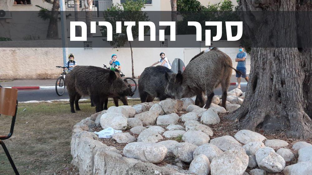 סקר החזירים | חזירי בר רועים לייד ילדים בשכונת כרמליה – יום כיפור (צילום: דורון שוורץ)