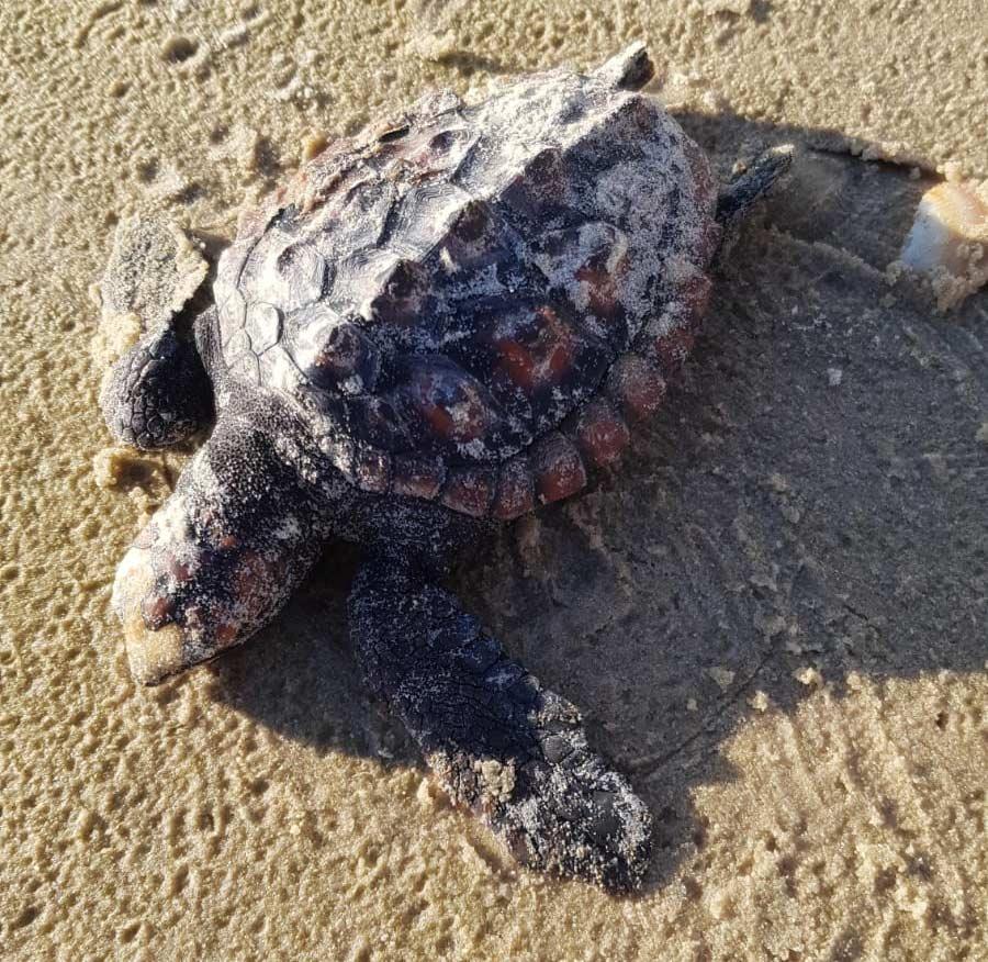 אסון הזפת - צב ים מת (צילום: קובי ציטר - חוף הכרמל)