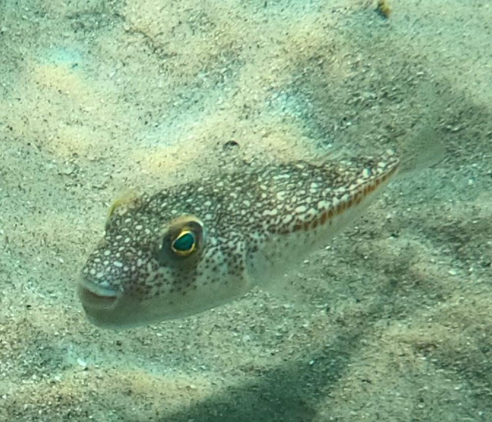 """דג הנפוחית - """"אבו נפחא""""  כשהוא חי הוא מסוכן (צילום: מוטי מנדלסון)"""
