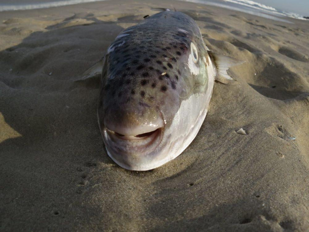 """דג הנפוחית - """"אבו נפחא"""" (צילום: מוטי מנדלסון)"""