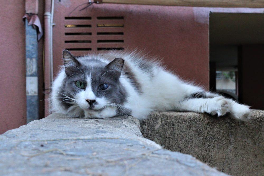 חתול קרבות (צילום: עומר מוזר)