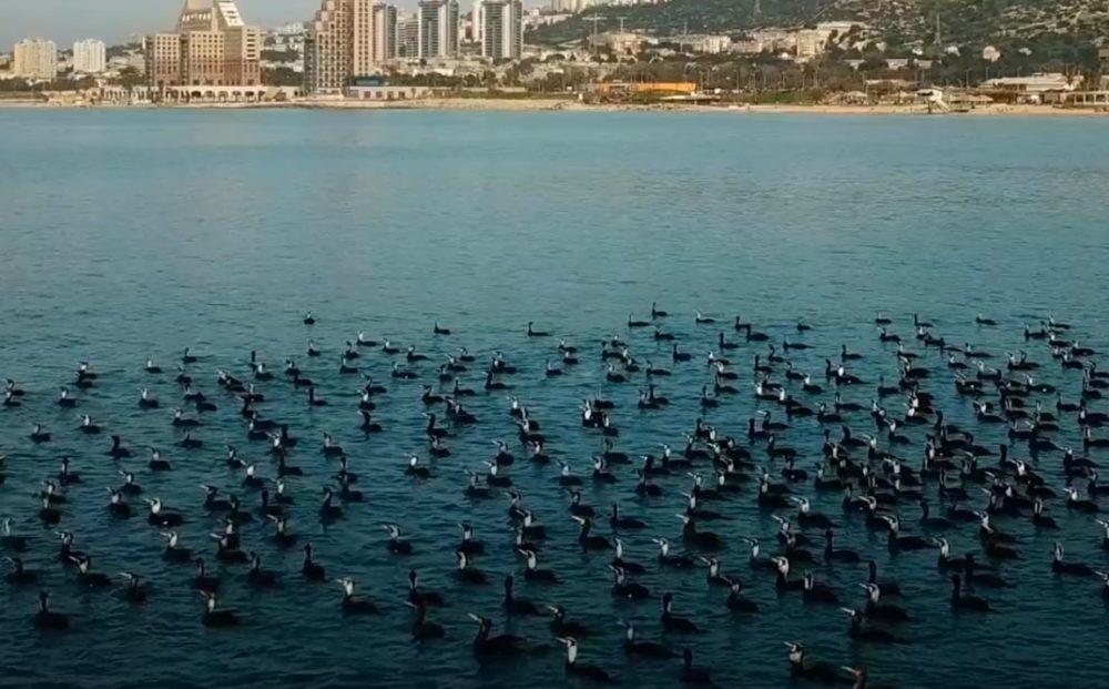 נדידת קורומורנים בחיפה (צילום רחפן: פריאל דיין)