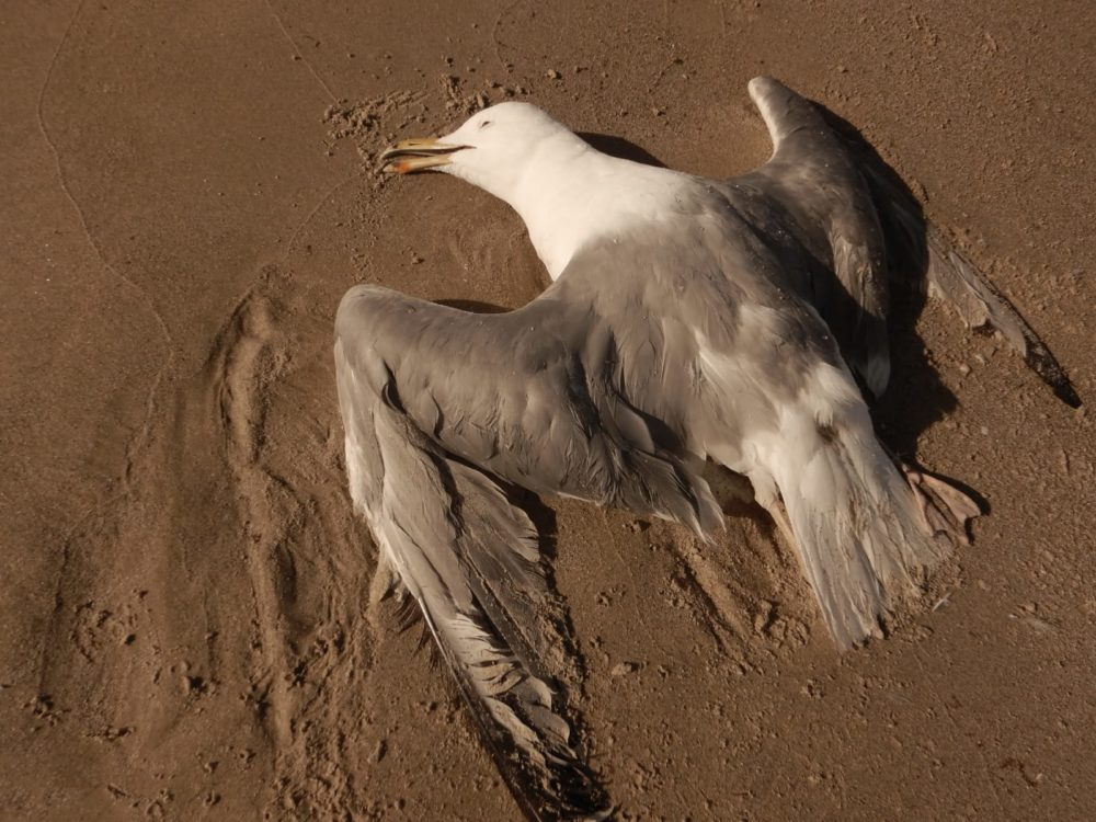 גופת שחף על החוף (צילום: מוטי מנדלסון)